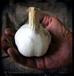Bialas sonny garlic