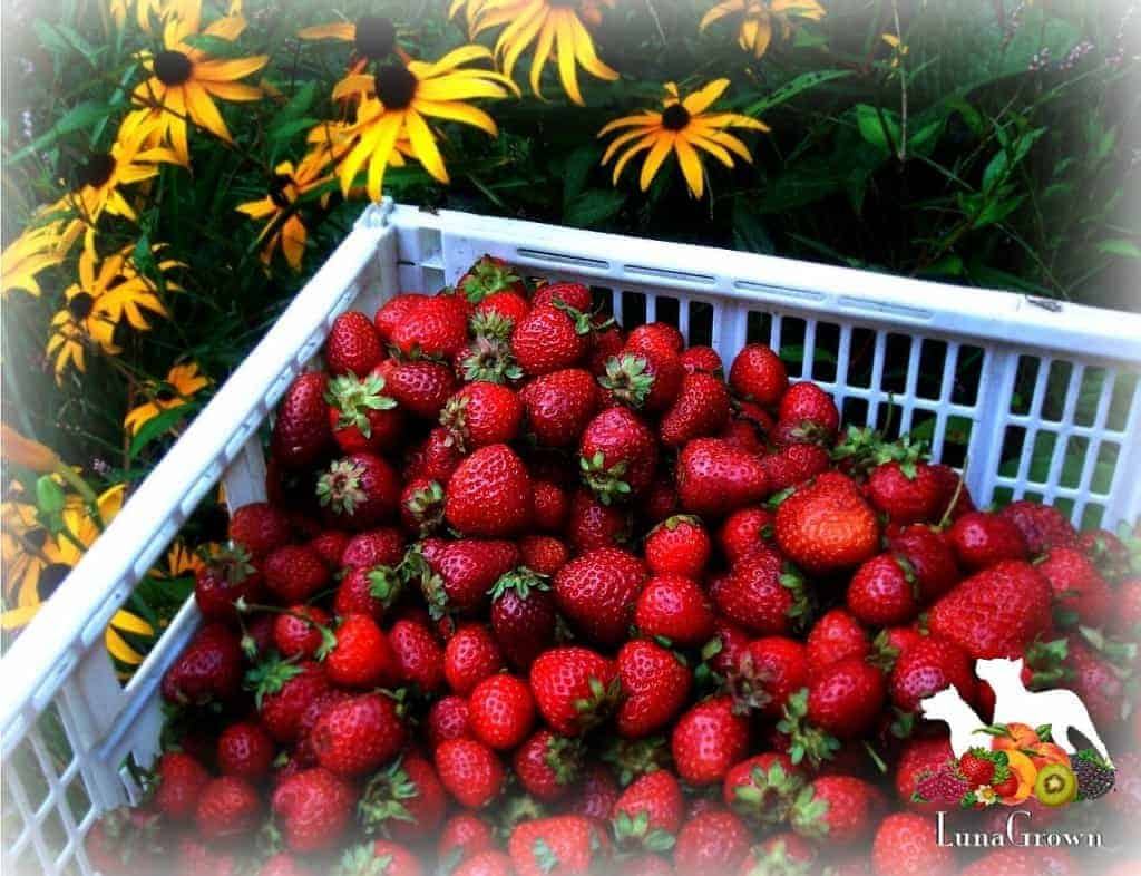 LunaGrown Local grown strawberries
