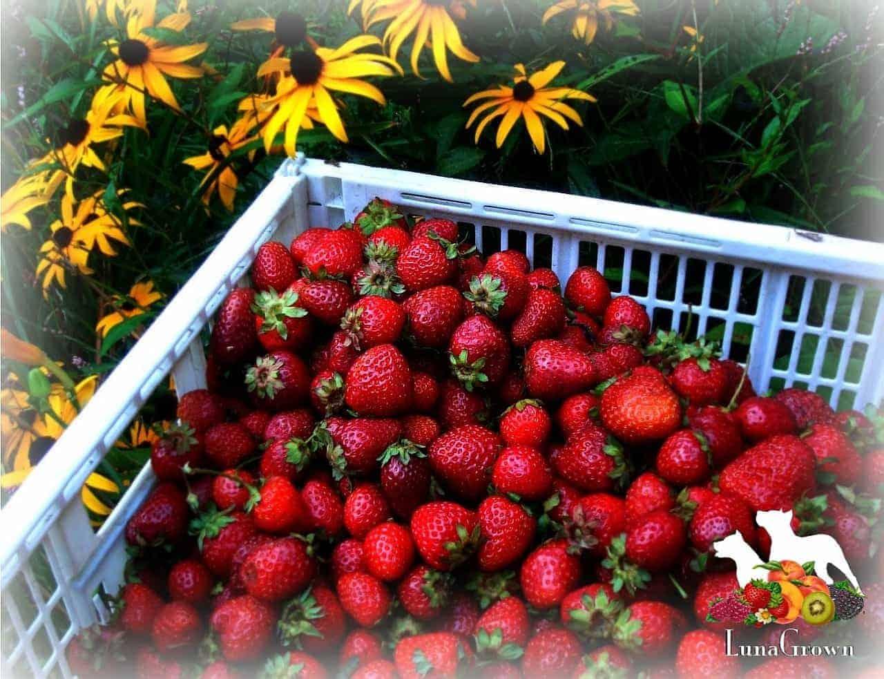 LunaGrown Local grown strawberries