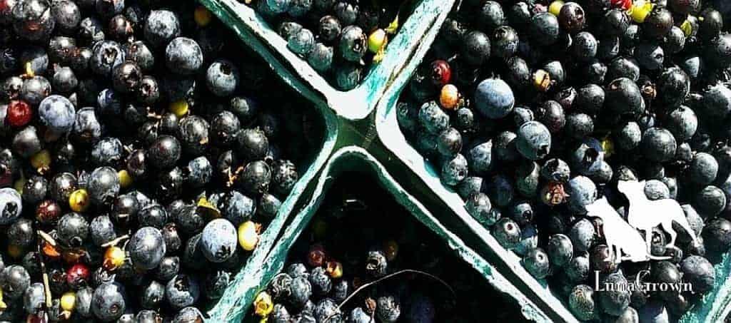LunaGrown Wild blueberries