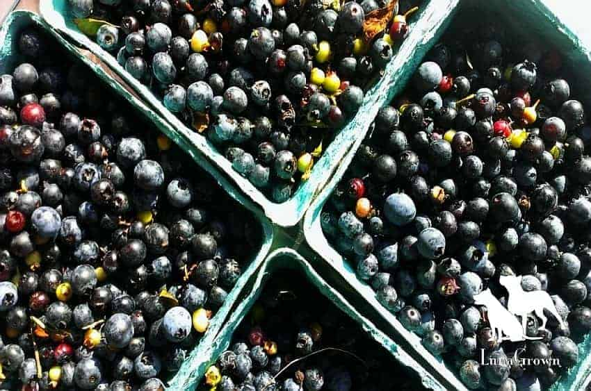 LunaGrown Wild Blueberries