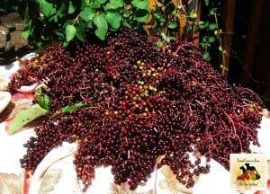 LunaGrown Elderberries