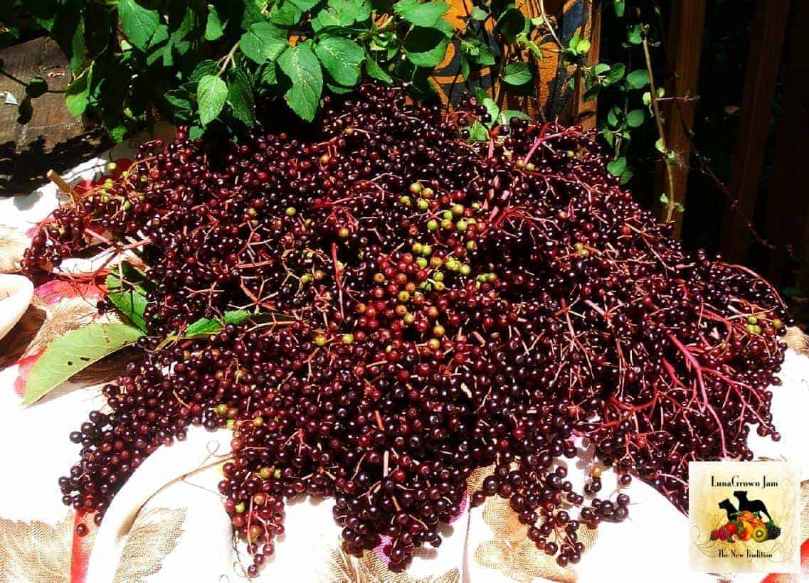 LunaGrown Elderberries