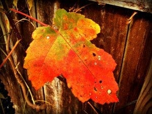 Red Maple Leaf Viewing