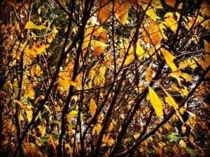 Yellow Birch Leaf Viewing