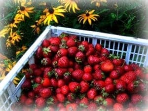 Fresh Strawberries from Bialas Farm market